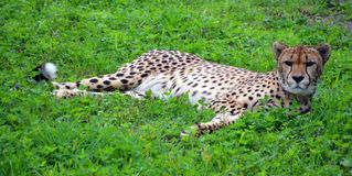 The cheetah. Acinonyx jubatus is a large felid of the subfamily Felinae that occurs mainly in eastern and southern Africa and a few parts of Iran. The only Stock Photos