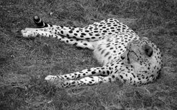 The cheetah. Acinonyx jubatus is a large felid of the subfamily Felinae that occurs mainly in eastern and southern Africa and a few parts of Iran. The only Stock Images