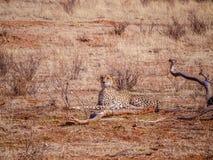 Cheetah (Acinonyx jubatus) Royalty Free Stock Images