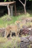 Cheetah (Acinonyx jubatus). Stock Photos
