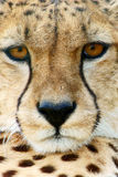 Cheetah (Acinonyx jubatus) looking Stock Photo