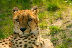 Cheetah (Acinonyx jubatus) looking Royalty Free Stock Photography