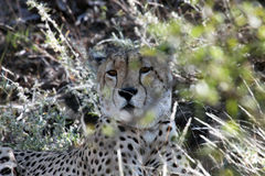 Cheetah (Acinonyx jubatus) lying in the grass, Royalty Free Stock Image