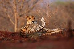 The cheetah Acinonyx jubatus lying on a red earth Royalty Free Stock Photo