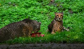 Cheetah, Acinonyx jubatus, Male and Female. royalty free stock images