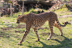 Cheetah. Acinonyx jubatus in the park stock photography