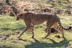 Cheetah. Acinonyx jubatus in the park royalty free stock photos