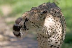 Cheetah Acinonyx jubatus Stock Photo