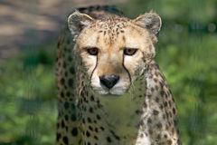 Cheetah Acinonyx jubatus Royalty Free Stock Photos