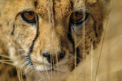 Cheetah (Acinonyx jubatus) in the savanna Stock Photography
