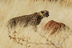 Cheetah (Acinonyx jubatus) in the savanna Royalty Free Stock Photos