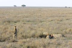 Cheetah (Acinonyx jubatus) on savanna Stock Photos