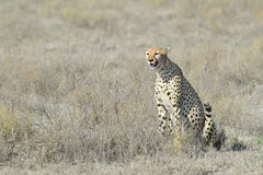 Cheetah (Acinonyx jubatus) on savanna Royalty Free Stock Image