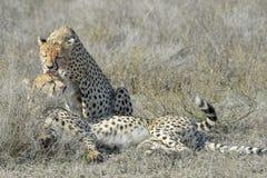 Cheetah (Acinonyx jubatus) on savanna Royalty Free Stock Photography