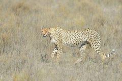 Cheetah (Acinonyx jubatus) on savanna Stock Image