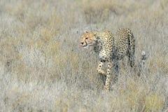 Cheetah (Acinonyx jubatus) on savanna Stock Images