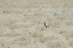 Cheetah (Acinonyx jubatus) on savanna Royalty Free Stock Images