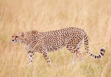 Cheetah (Acinonyx jubatus) in savannah Royalty Free Stock Photography