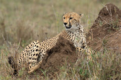 Cheetah acinonyx jubatus in the serengeti Royalty Free Stock Images