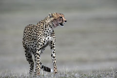 Cheetah, Acinonyx jubatus Stock Photography