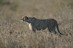 Cheetah, Acinonyx jubatus Royalty Free Stock Images