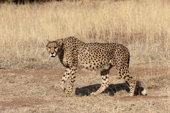 Cheetah, Acinonyx jubatus Stock Images