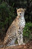 Cheetah. The cheetah Acinonyx jubatus sitting under trees Royalty Free Stock Image