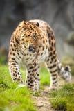 Cheetah (Acinonyx jubatus) Stock Photos