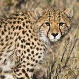 Cheetah (Acinonyx jubatus soemmeringii) Stock Photo