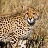 Cheetah (Acinonyx jubatus soemmeringii) Stock Photos