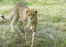 Cheetah (Acinonyx jubatus). Standing in the grass Royalty Free Stock Photography