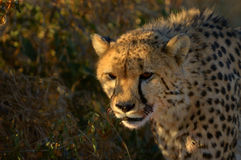 A Cheetah in the sunset Royalty Free Stock Photo