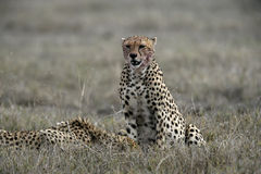 Cheetah, Acinonyx jubatus Royalty Free Stock Photo