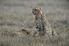 Cheetah, Acinonyx jubatus Stock Photo