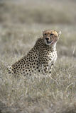Cheetah, Acinonyx jubatus Royalty Free Stock Photos