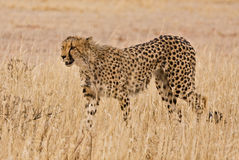 Cheetah (Acinonyx jubatus) walking in the Kalahari. A cheetah, the fastest animal on land, takes a stroll in the Kalahari desert, South Africa stock photos