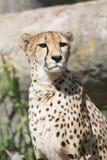 Cheetah, Acinonyx jubatus, watching nearby Royalty Free Stock Image