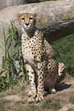 Cheetah, Acinonyx jubatus, watching nearby Stock Photography
