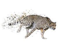 Cheetah (Acinonyx jubatus) Watercolor Royalty Free Stock Image