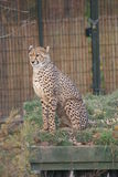Cheetah - Acinonyx jubatus Stock Photos