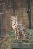 Cheetah - Acinonyx jubatus Stock Photo
