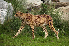 Cheetah (Acinonyx jubatus). Stock Images