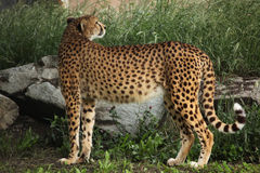 Cheetah (Acinonyx jubatus). Stock Photo