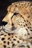 Cheetah (Acinonyxjubatus) Fotografering för Bildbyråer