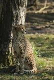 Cheetah Acinonyxjubatus Rovdjur och snabbt arkivfoton