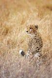 Cheetah. Adult  african cheetah, Masai Mara National Reserve, Kenya, East Africa Stock Images
