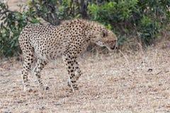 Cheetah. Adult African cheetah walk along bushes, Masai Mara National Reserve, Kenya, East Africa Stock Photography