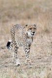 Cheetah. Adult cheetah in grassland of  Masai Mara National Reserve, Kenya, East Africa Stock Photo
