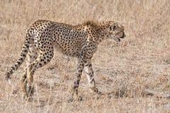 Cheetah. Adult cheetah, Masai Mara National Reserve, Kenya, East Africa Stock Photography