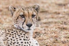 Cheetah. Adult cheetah resting in grassland of  Masai Mara National Reserve, Kenya, East Africa Stock Photography